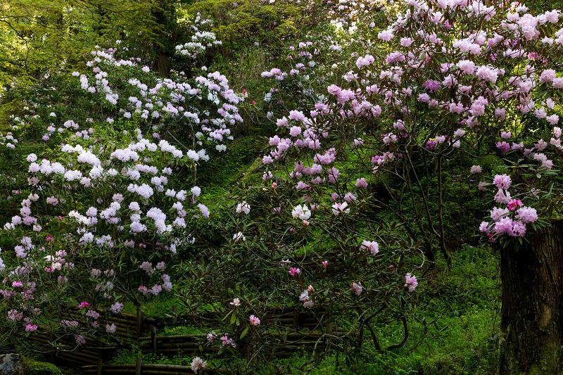 石楠花と春の花咲く岡寺_f0155048_23055374.jpg