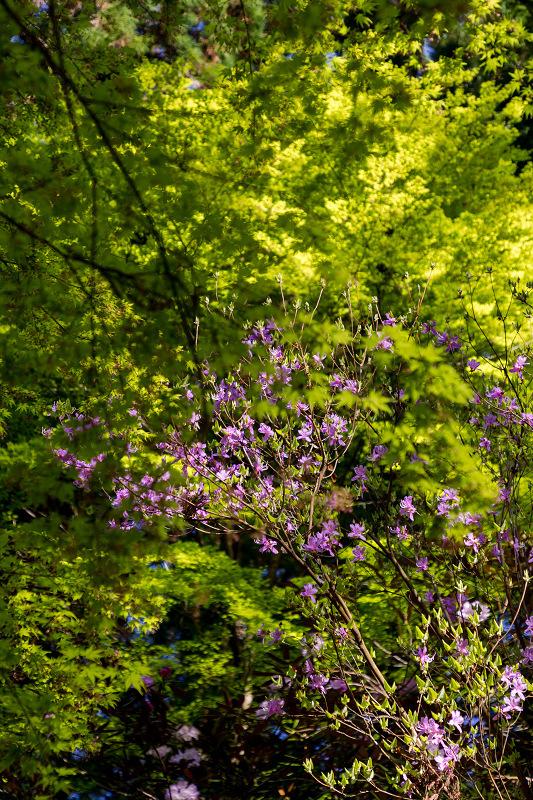 石楠花と春の花咲く岡寺_f0155048_23061594.jpg