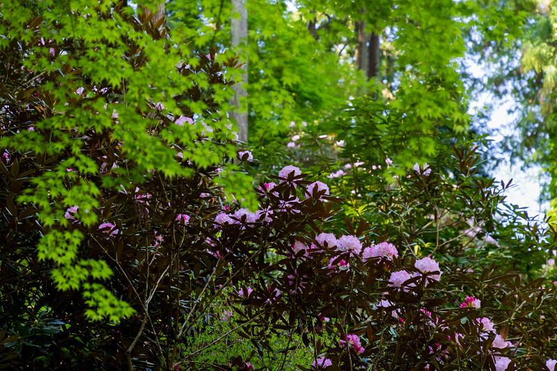 石楠花と春の花咲く岡寺_f0155048_23062897.jpg