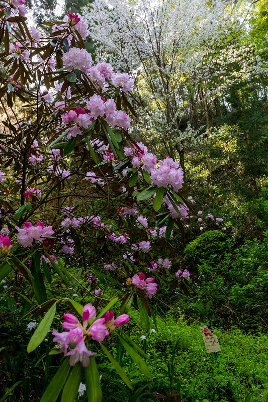 石楠花と春の花咲く岡寺_f0155048_23065762.jpg