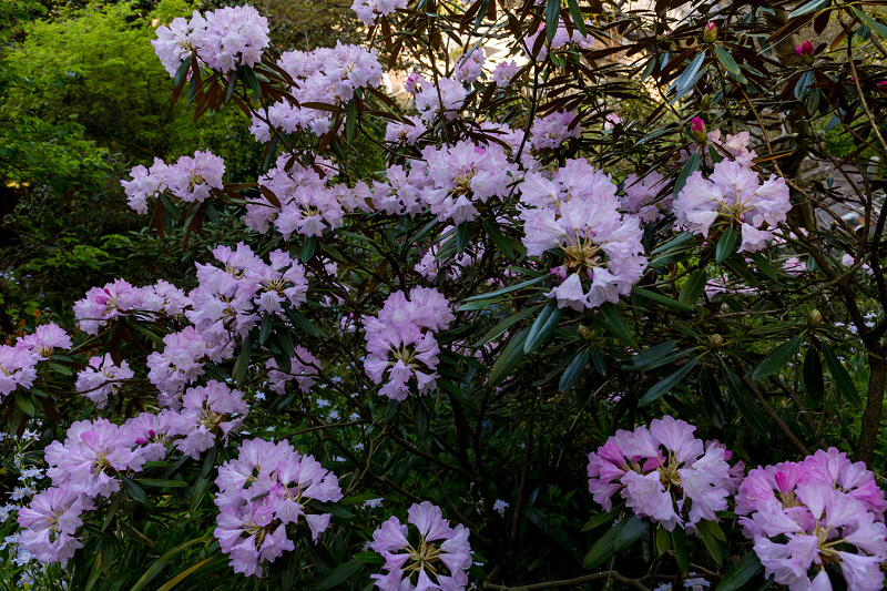 石楠花と春の花咲く岡寺_f0155048_23071134.jpg