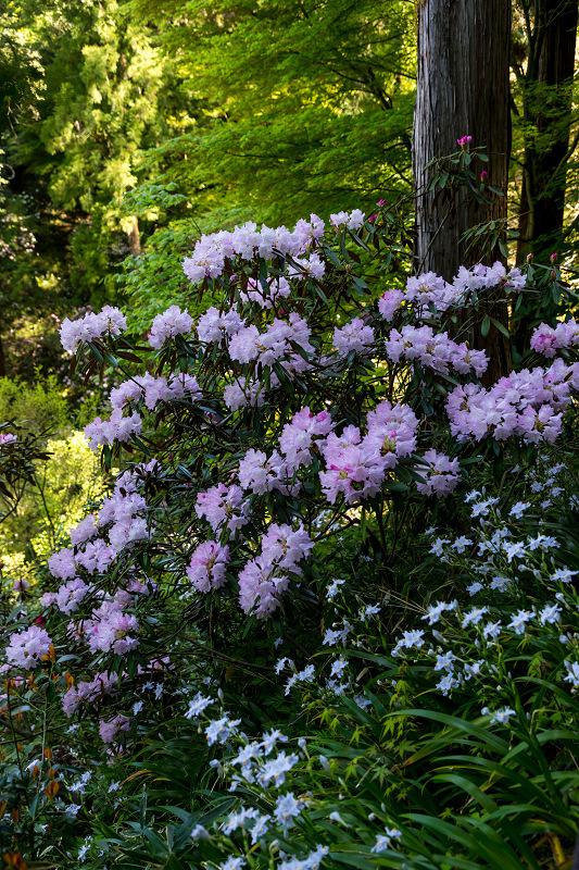 石楠花と春の花咲く岡寺_f0155048_23071905.jpg