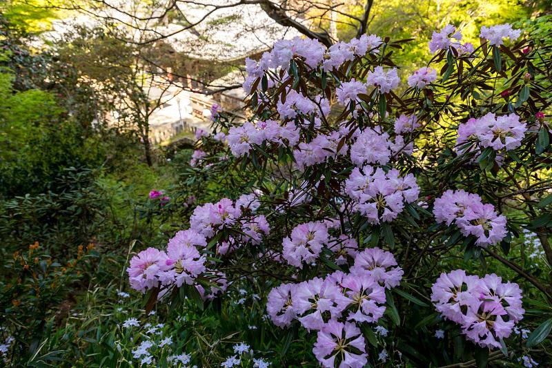 石楠花と春の花咲く岡寺_f0155048_23072647.jpg