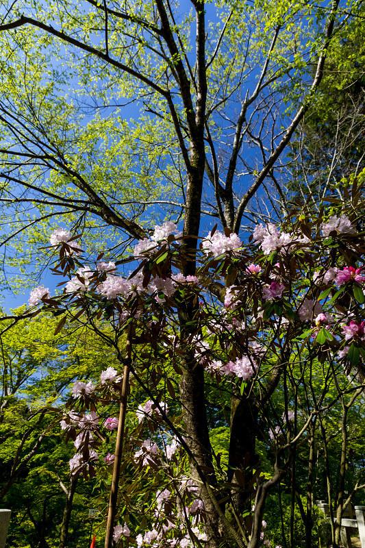 石楠花と春の花咲く岡寺_f0155048_23074013.jpg