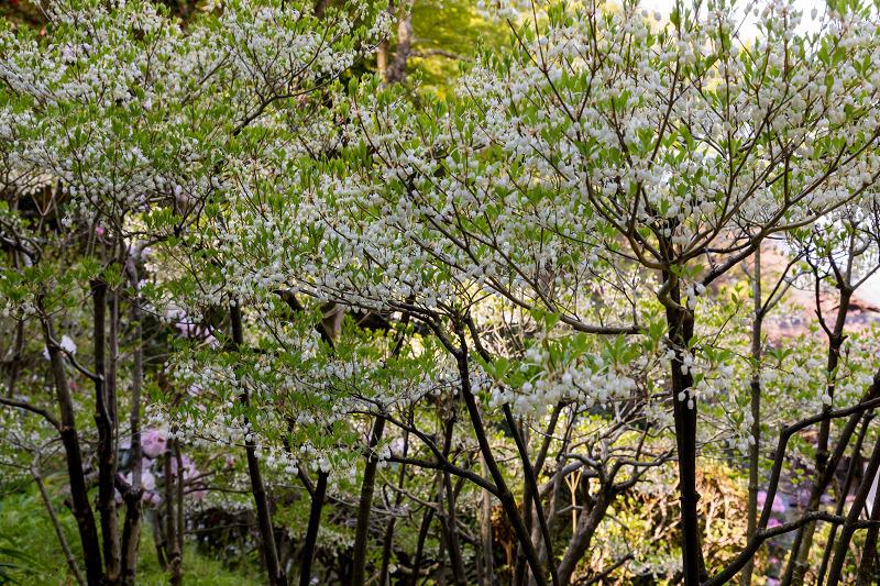 石楠花と春の花咲く岡寺_f0155048_23090120.jpg