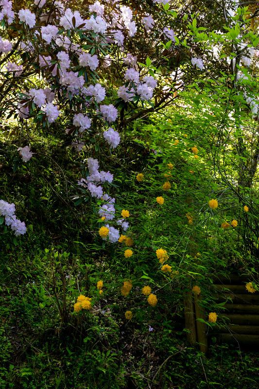 石楠花と春の花咲く岡寺_f0155048_23100750.jpg