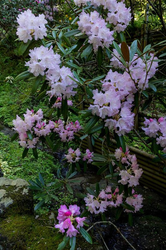 石楠花と春の花咲く岡寺_f0155048_23105555.jpg