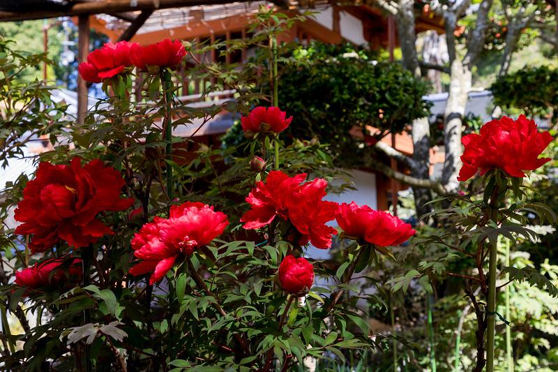 石楠花と春の花咲く岡寺_f0155048_23110821.jpg