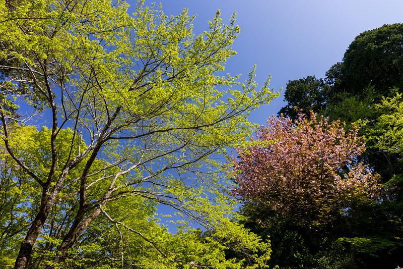 石楠花と春の花咲く岡寺_f0155048_23112853.jpg