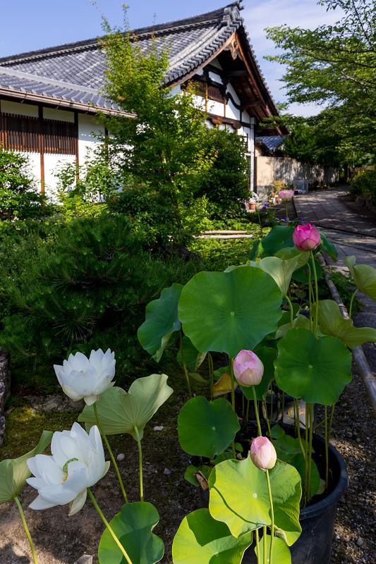 夏の花咲く上品蓮台寺_f0155048_22315208.jpg