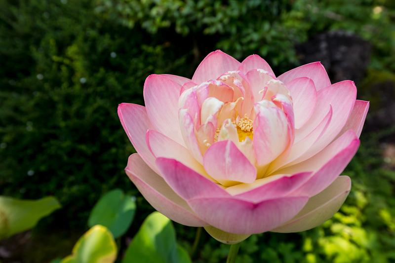 夏の花咲く上品蓮台寺_f0155048_22320082.jpg