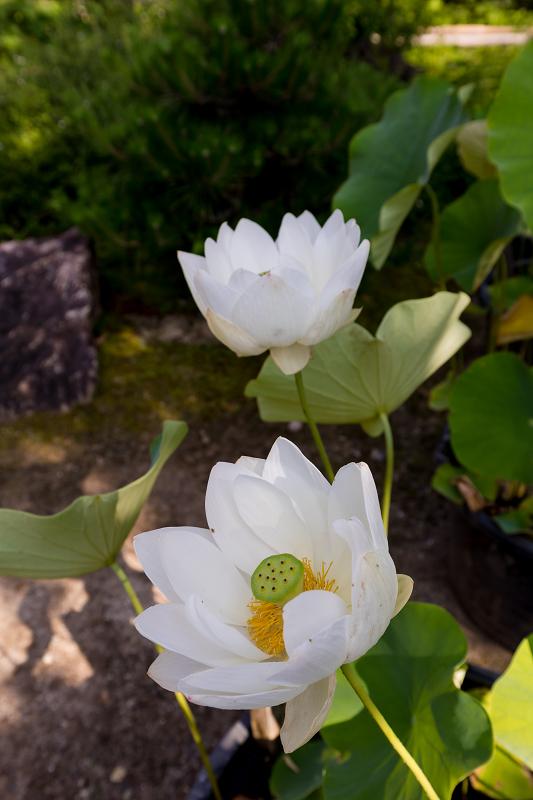 夏の花咲く上品蓮台寺_f0155048_22320366.jpg