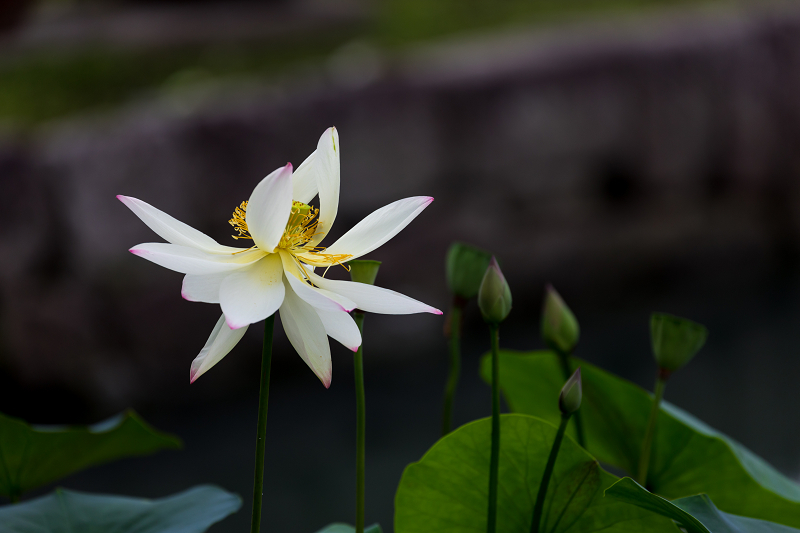 夏の花咲く上品蓮台寺_f0155048_22323635.jpg