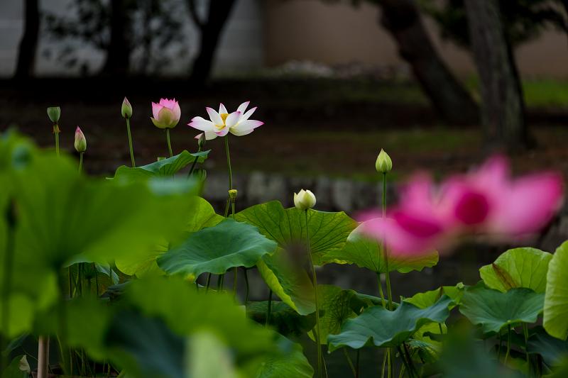 夏の花咲く上品蓮台寺_f0155048_22324509.jpg