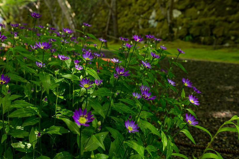 キリシマツツジと春の花咲く三千院_f0155048_20572048.jpg