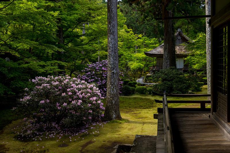 キリシマツツジと春の花咲く三千院_f0155048_20591728.jpg