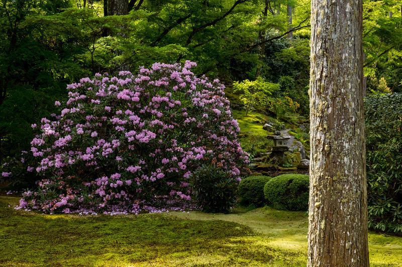 キリシマツツジと春の花咲く三千院_f0155048_21003055.jpg