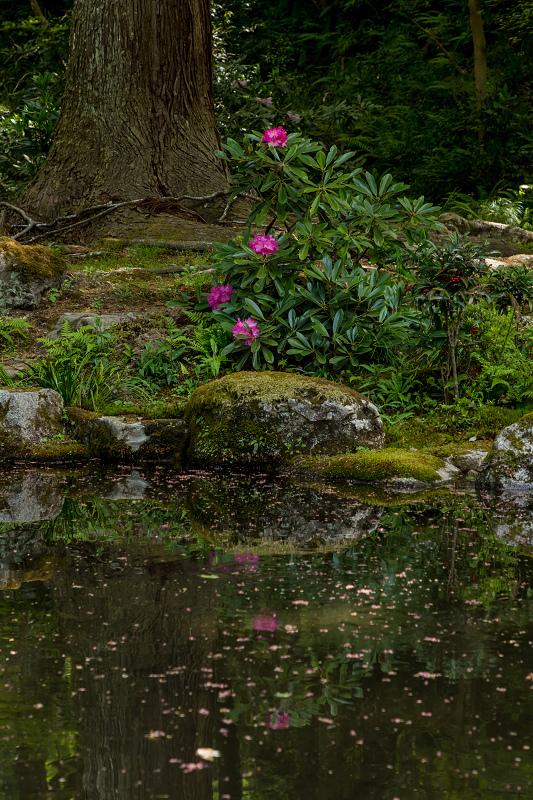 キリシマツツジと春の花咲く三千院_f0155048_21004063.jpg