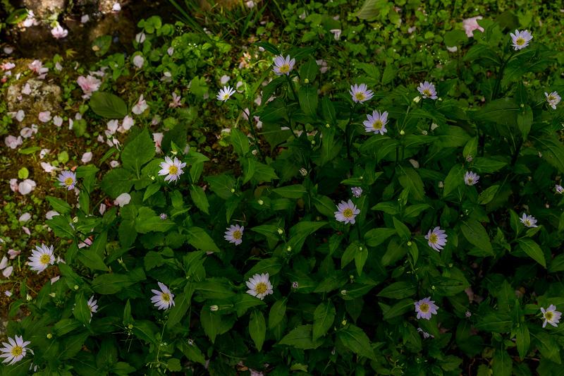 キリシマツツジと春の花咲く三千院_f0155048_21014560.jpg