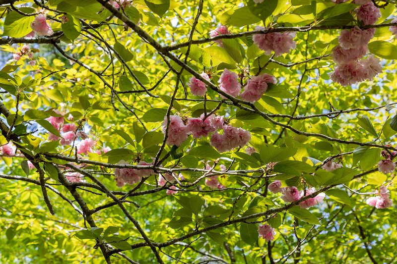 キリシマツツジと春の花咲く三千院_f0155048_21015163.jpg