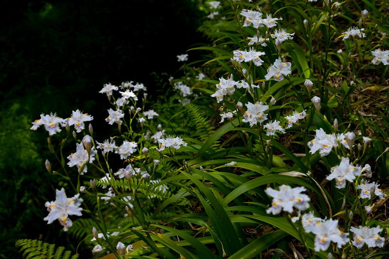 キリシマツツジと春の花咲く三千院_f0155048_21021569.jpg