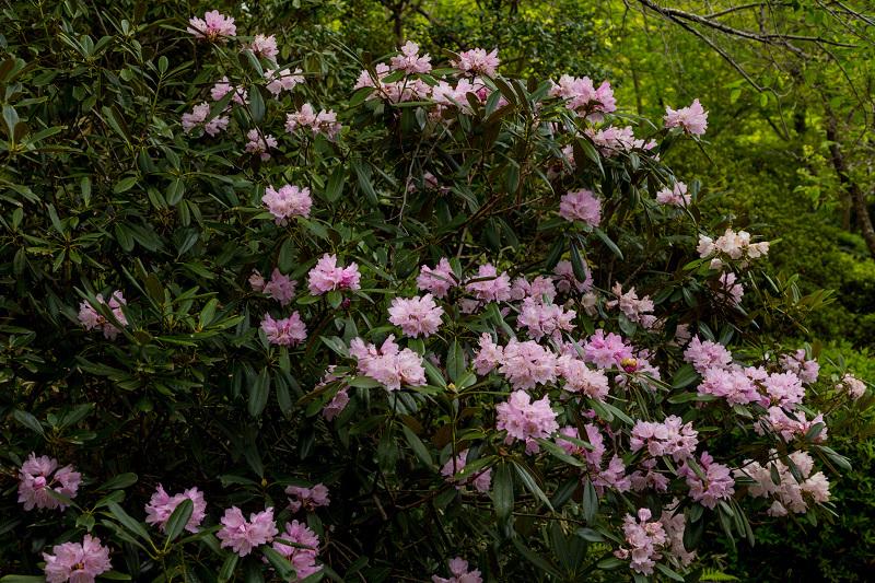 キリシマツツジと春の花咲く三千院_f0155048_21025150.jpg