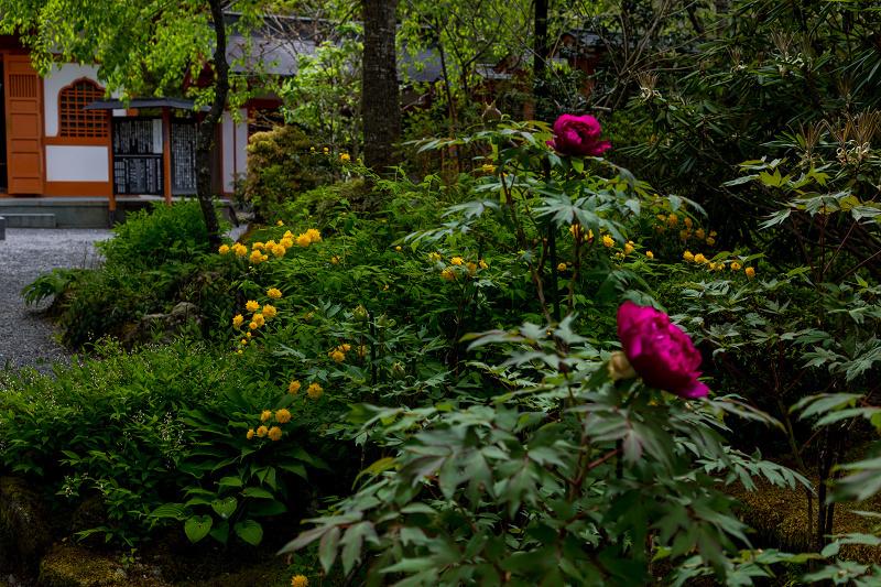 キリシマツツジと春の花咲く三千院_f0155048_21030323.jpg
