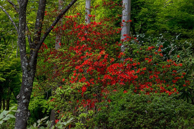 キリシマツツジと春の花咲く三千院_f0155048_21032660.jpg