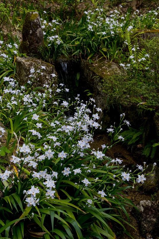 キリシマツツジと春の花咲く三千院_f0155048_21033655.jpg