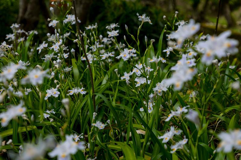 キリシマツツジと春の花咲く三千院_f0155048_21033886.jpg