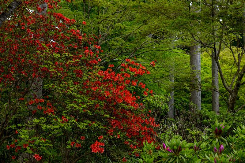 キリシマツツジと春の花咲く三千院_f0155048_21041502.jpg