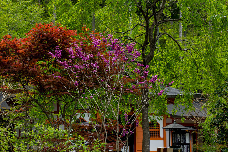 キリシマツツジと春の花咲く三千院_f0155048_21042478.jpg