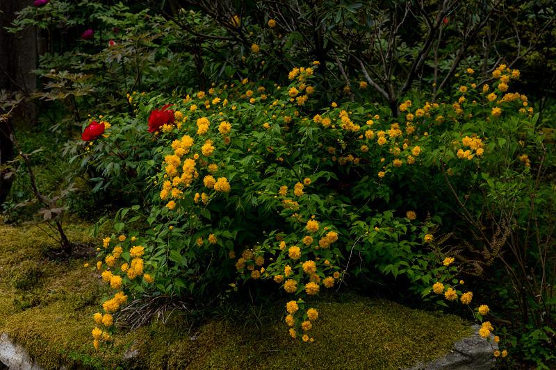 キリシマツツジと春の花咲く三千院_f0155048_21043695.jpg