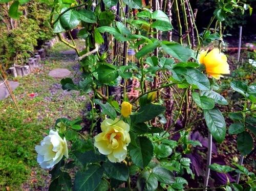 806、白露、秋の庭に花ふたたび_e0323652_12280687.jpg