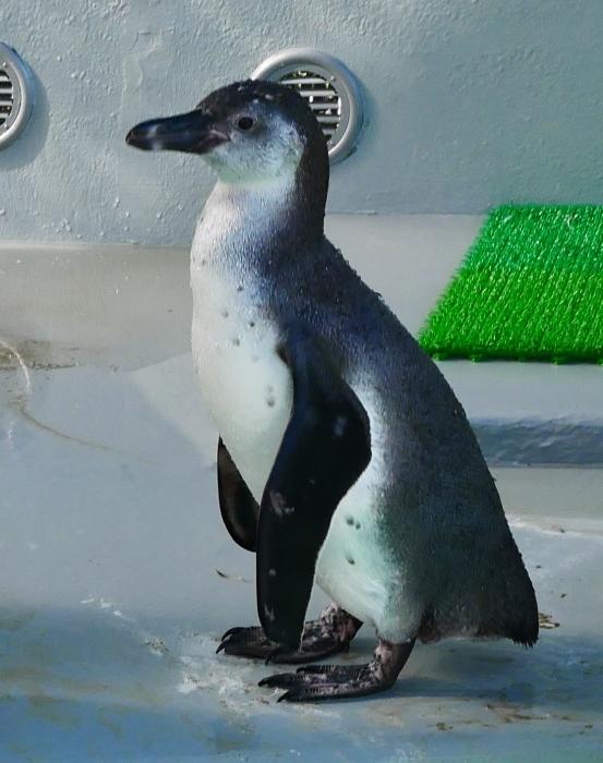 フンボルトペンギン・ワコ  2021-09-16 00:00 _b0093754_23265714.jpg