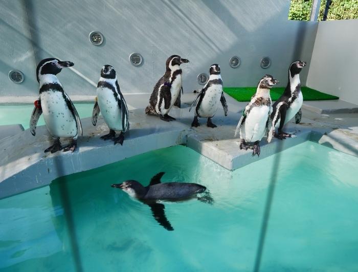 フンボルトペンギン・ワコ  2021-09-16 00:00 _b0093754_23272750.jpg