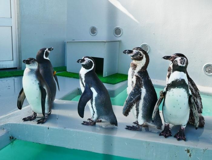 フンボルトペンギン・ワコ  2021-09-16 00:00 _b0093754_23273931.jpg