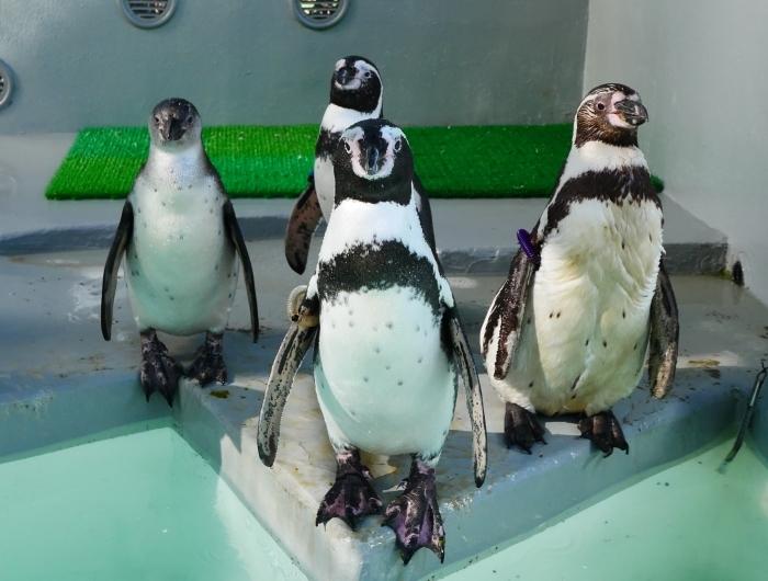フンボルトペンギン・ワコ  2021-09-16 00:00 _b0093754_23275077.jpg