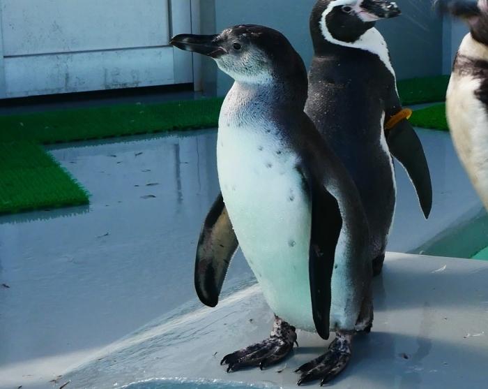 フンボルトペンギン・ワコ  2021-09-16 00:00 _b0093754_23280202.jpg