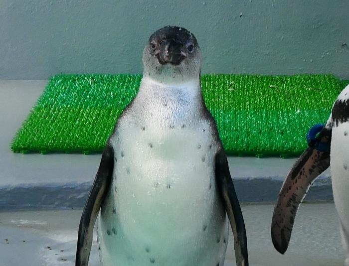 フンボルトペンギン・ワコ  2021-09-16 00:00 _b0093754_23281149.jpg