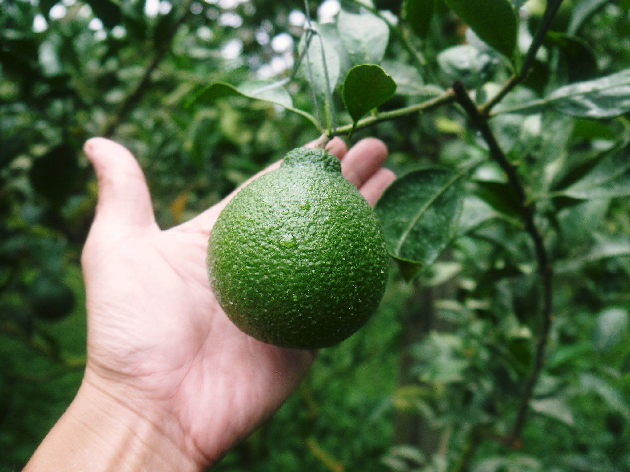 デコポン(肥後ポン) 果実の成長の様子(2021) 来年の花芽となる夏芽も元気に育っています!(前編) _a0254656_18393683.jpg