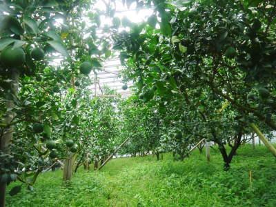デコポン(肥後ポン) 果実の成長の様子(2021) 来年の花芽となる夏芽も元気に育っています!(前編) _a0254656_18462857.jpg