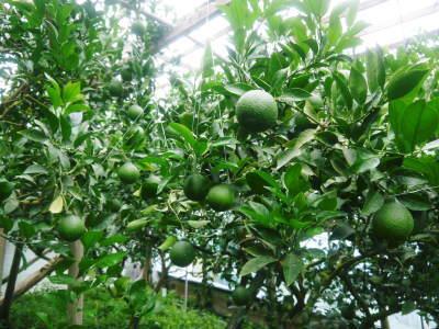 デコポン(肥後ポン) 果実の成長の様子(2021) 来年の花芽となる夏芽も元気に育っています!(前編) _a0254656_18490977.jpg