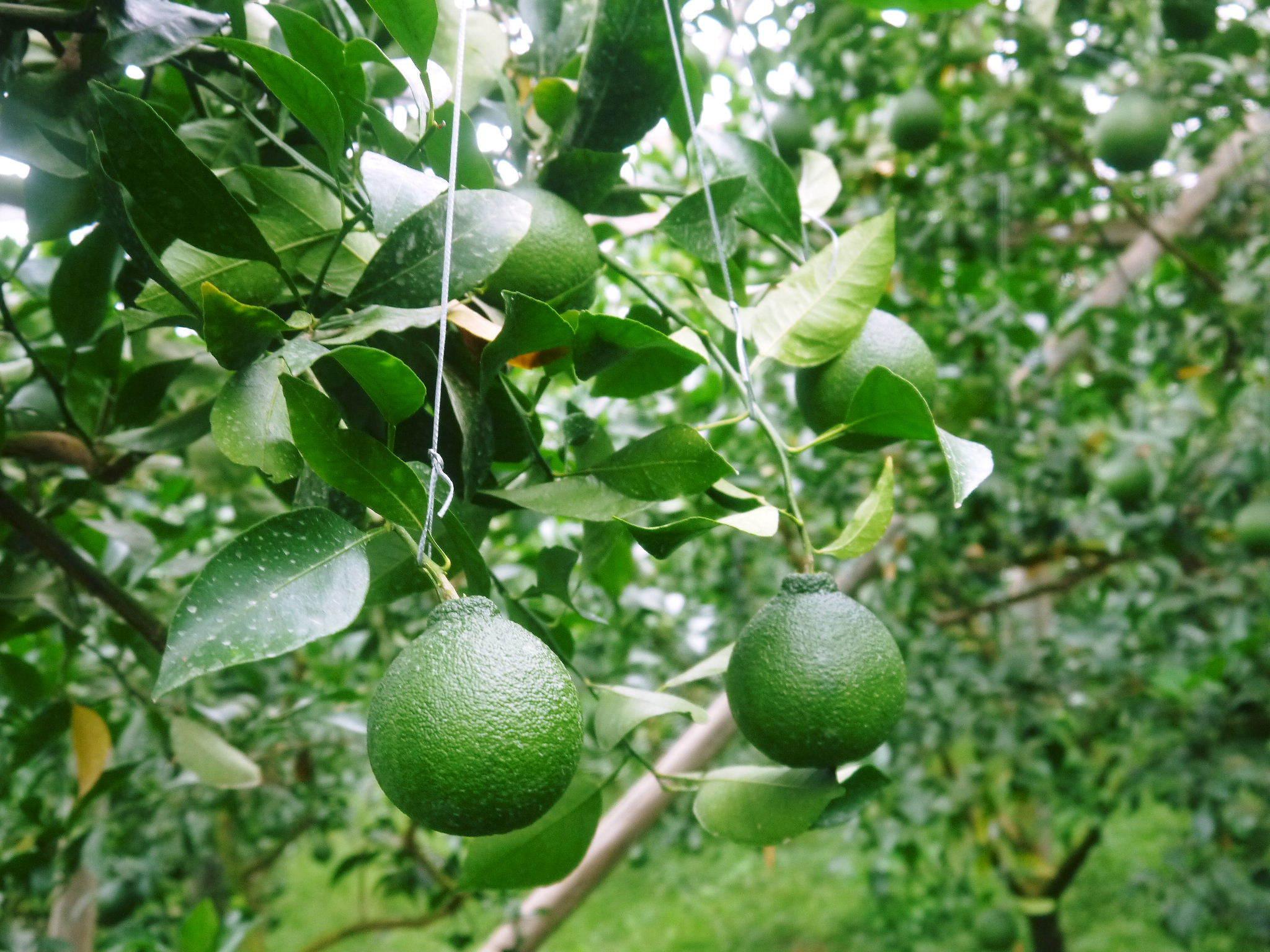 デコポン(肥後ポン) 果実の成長の様子(2021) 来年の花芽となる夏芽も元気に育っています!(前編) _a0254656_18493911.jpg