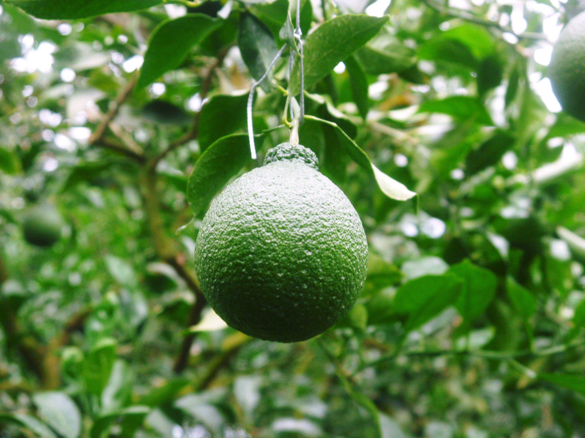 デコポン(肥後ポン) 果実の成長の様子(2021) 来年の花芽となる夏芽も元気に育っています!(前編) _a0254656_18510031.jpg