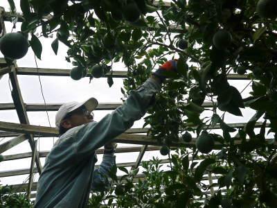 デコポン(肥後ポン) 果実の成長の様子(2021) 来年の花芽となる夏芽も元気に育っています!(前編) _a0254656_19000506.jpg