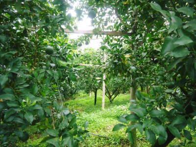 デコポン(肥後ポン) 果実の成長の様子(2021) 来年の花芽となる夏芽も元気に育っています!(前編) _a0254656_19033416.jpg