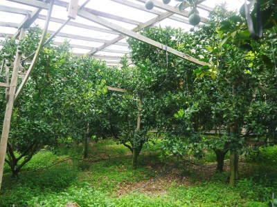 デコポン(肥後ポン) 果実の成長の様子(2021) 来年の花芽となる夏芽も元気に育っています!(前編) _a0254656_19114745.jpg