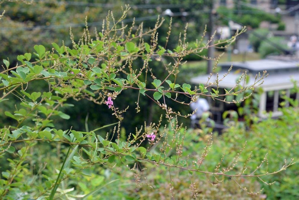 京都市電とハギの花2_e0373930_19440446.jpg