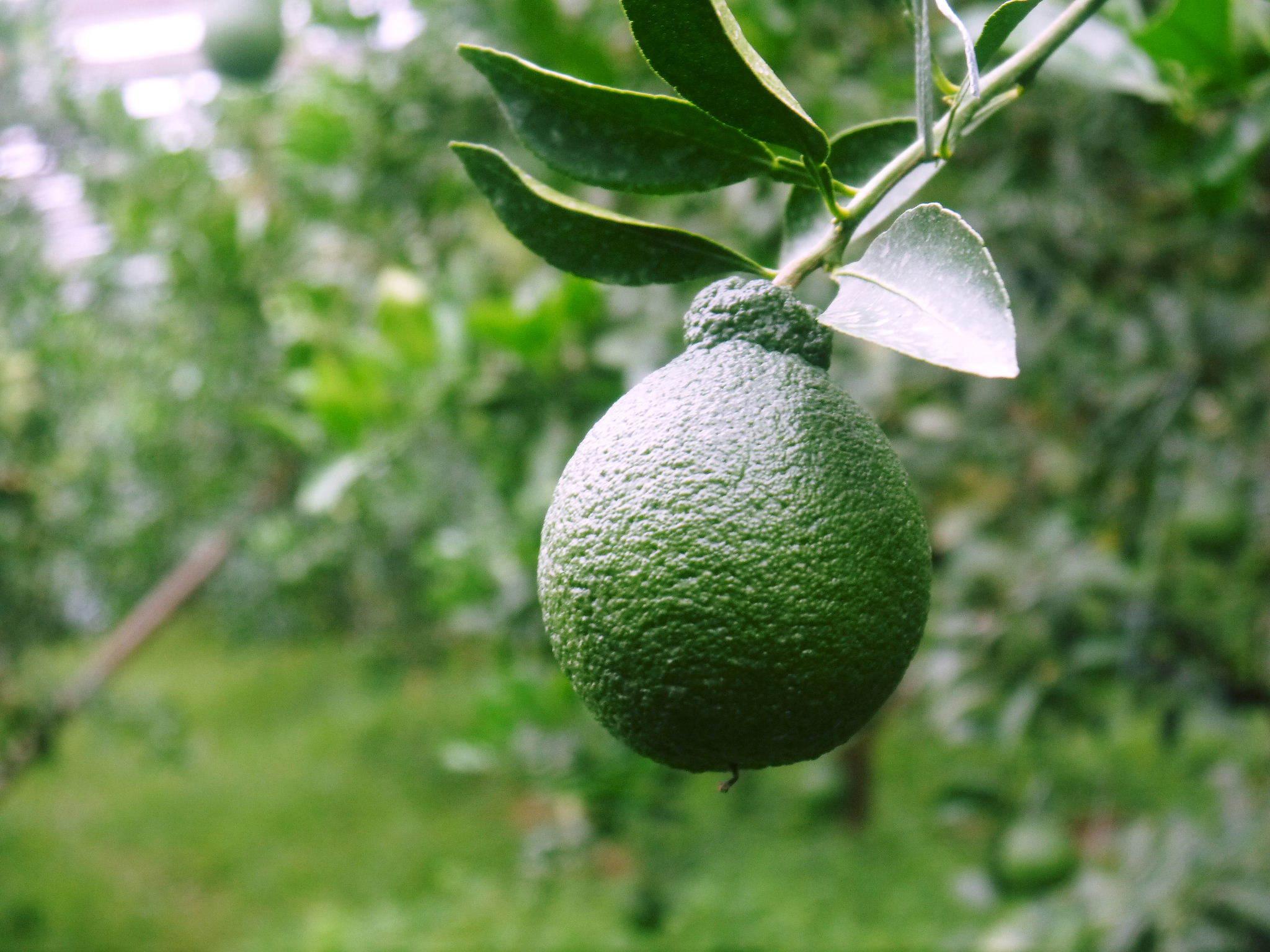 デコポン(肥後ポン) 果実の成長の様子(2021) 来年の花芽となる夏芽も元気に育っています!(後編) _a0254656_17571514.jpg